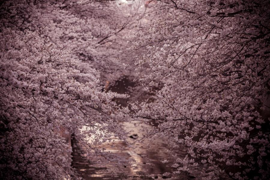 Cerezos en flor sobre el río Kanda