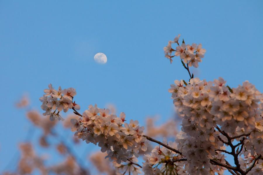 Cerezos y luna