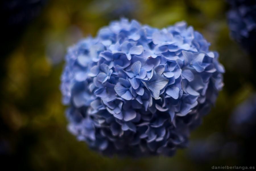 Ajisai (紫陽花)