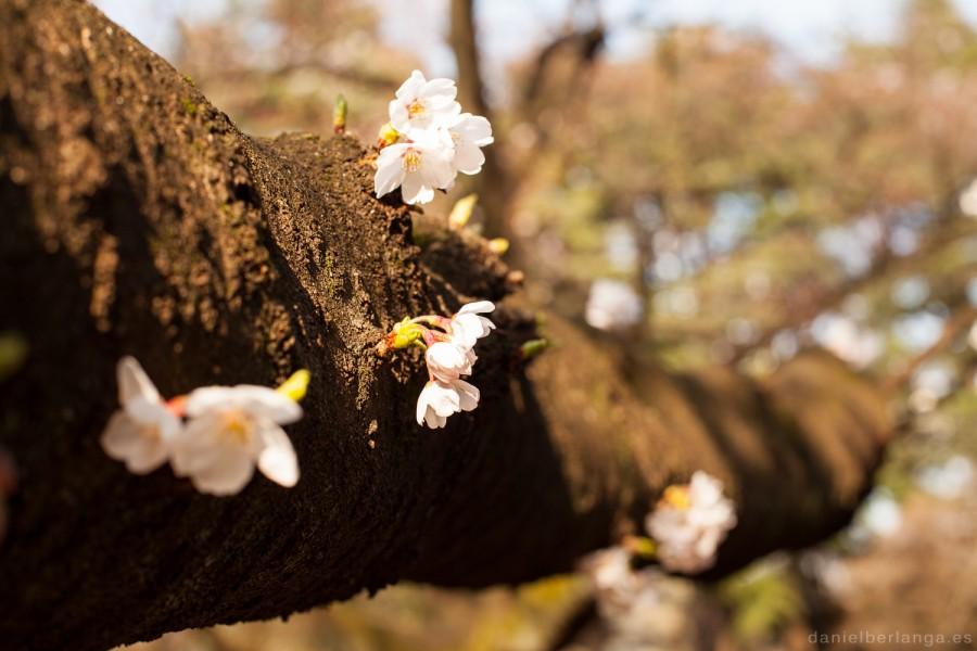 Sakuras 2016